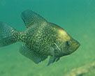 crappie_photo_by _us_fish_and_wildlife_service